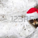 15556653-fun-image-of-an-adorable-wild-young-raccoon-peeking-out-from-behind-a-snow-bank-with-his-christmas-h