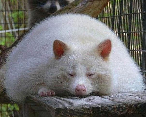 белые еноты