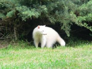 белый енот
