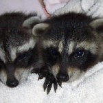 Raccoons Kate and Spunky