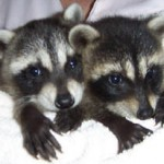 Raccoons Kate and Spunky 2