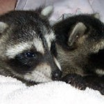 Raccoons Kate and Spunky 3