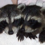 Raccoons Kate and Spunky 4