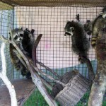 Raccoons five babies 1