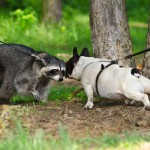 енот и собака