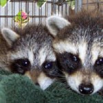 TWo baby coons 1