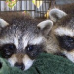 TWo baby coons 2