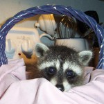 Young Raccoon 5