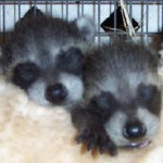 baby raccoons sleeping 1