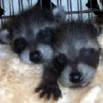 baby raccoons sleeping 3