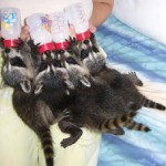 raccoon baby bottles 3