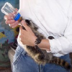 raccoon baby drinking water 2