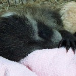 raccoon baby sleeping