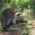 raccoon bethany release 2