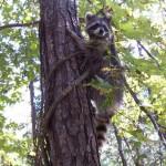 raccoon briteny release 2