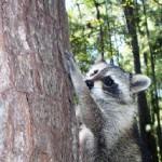 raccoon briteny release 4
