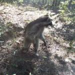 raccoon celery release 1