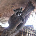 raccoon david up a tree 1