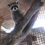 raccoon david up a tree 2