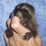 raccoon midge on finger 1
