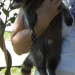 raccoon spunky