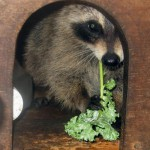 raccoon_with_kale_1_(2)