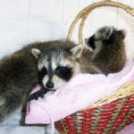 raccoons 3 babies 1
