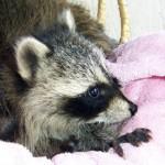 raccoons 3 babies 2