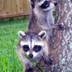 raccoons at tree base