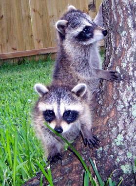 raccoons at tree base