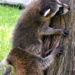 raccoons climbing 1
