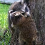 raccoons climbing 2
