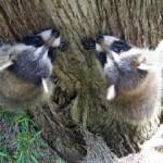 raccoons climbing 3
