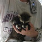 raccoons lindsdav