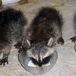 raccoons milk bowls 1 (2)