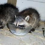 raccoons milk bowls 2