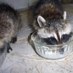 raccoons milk bowls 3