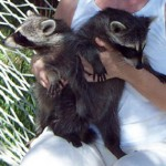 raccoons spunky and kate 1