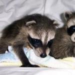 raccoons tornado babies 1