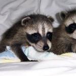 raccoons tornado babies 2