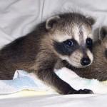 raccoons tornado babies 4