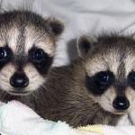 raccoons tornado babies 5