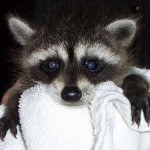 young raccoon 2