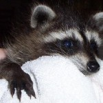 young raccoon 3