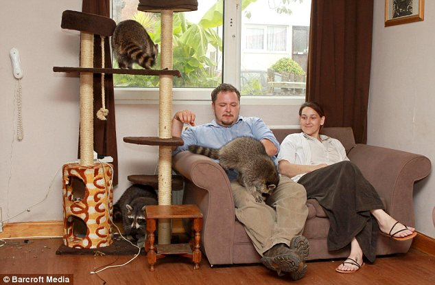 Енотовидная собака в домашних условия