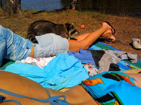 енот на пикнике
