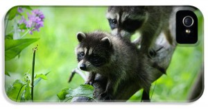 1-raccoon-kits-amanda-stadther