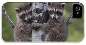 1-raccoon-two-babies-climbing-tree-north-tim-fitzharris