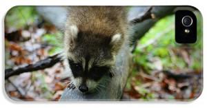 2-raccoon-amanda-stadther