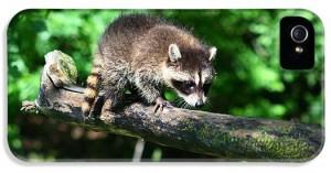 3-raccoon-amanda-stadther